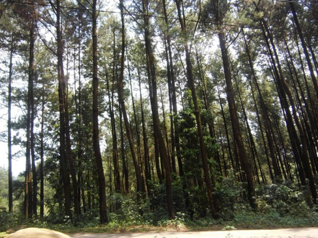 hutan Pinus - Gunung PANCAR