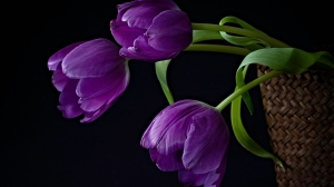 purple-tulipsx