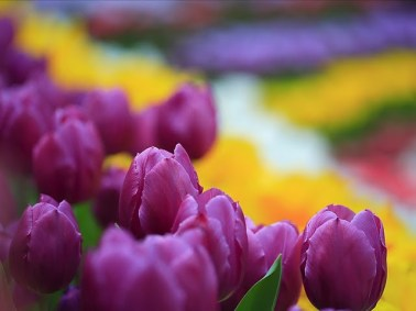 purple-tulips-in-colorful-garden--wallpaper-103643